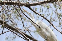 Ägretthäger i träd Arkivfoto