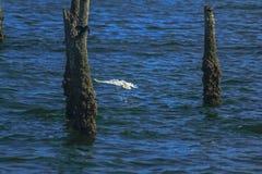 Ägretthäger som fångar en fisk i havet royaltyfri bild