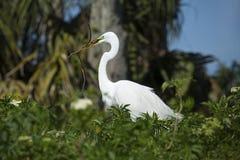 Ägretthäger som sätta sig i Florida våtmarker, med att bygga bo material i bea Arkivbild