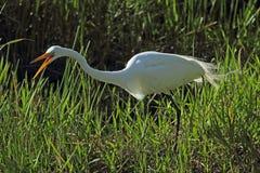 Ägretthäger som skriar, som den förföljer rovet i gräset, everglades Royaltyfri Bild