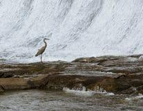 Ägretthäger vid vattenfallet royaltyfri foto