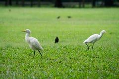 Ägretthägerfågel Royaltyfria Foton