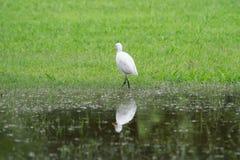 Ägretthägerfågel Royaltyfri Foto