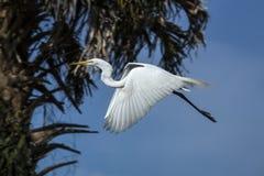 Ägretthägerflyg förbi en palmträd i en Florida våtmarker Royaltyfri Foto
