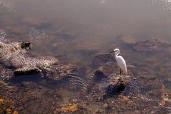 Ägretthägret i vatten vaggar på Arkivbilder