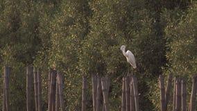 Ägretthägret putsar på en bambustubbe arkivfilmer
