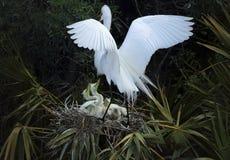 Ägretthägret som går tillbaka till dess rede av, behandla som ett barn i centrala Florida Royaltyfri Bild