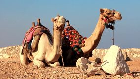 Ägyptische Kamele stock video footage