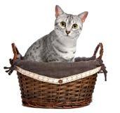 Ägyptische Mau Katze in einem Weidenkorb Stockfotografie