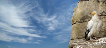 Ägyptischer Geier Stockfoto