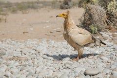 Ägyptischer Geier stockfotografie