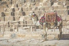 Ägyptisches Kamel am Giseh-Pyramidenhintergrund Touristenattraktion - Stockfotos