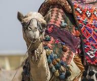 Ägyptisches Kamel am Giseh-Pyramidenhintergrund Touristenattraktion - Lizenzfreie Stockfotografie