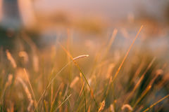Ährchen auf dem Gebiet bei Sonnenuntergang Die Beschaffenheit des Grases bei Sonnenuntergang Lizenzfreies Stockfoto