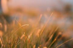 Ährchen auf dem Gebiet bei Sonnenuntergang Die Beschaffenheit des Grases bei Sonnenuntergang Stockbild