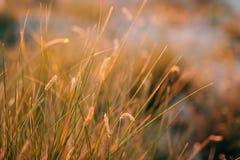Ährchen auf dem Gebiet bei Sonnenuntergang Die Beschaffenheit des Grases bei Sonnenuntergang Stockfotos