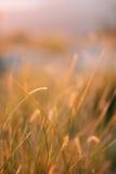 Ährchen auf dem Gebiet bei Sonnenuntergang Die Beschaffenheit des Grases bei Sonnenuntergang Lizenzfreie Stockbilder