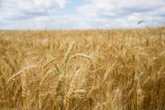 Ährchen auf einem Weizengebiet Lizenzfreies Stockfoto