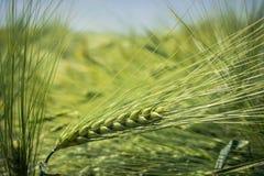Ährchen der grünen Gerste, verstopft mit schweren Körnern, vor dem hintergrund des Feldes und des Himmels stockbild