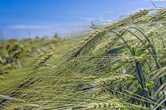 Ährchen der grünen Gerste, verstopft mit schweren Körnern, vor dem hintergrund des Feldes und des Himmels lizenzfreie stockfotos