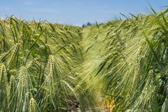 Ährchen der grünen Gerste, verstopft mit schweren Körnern, vor dem hintergrund des Feldes und des Himmels lizenzfreies stockfoto