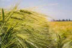 Ährchen der grünen Gerste, verstopft mit schweren Körnern, vor dem hintergrund des Feldes und des Himmels lizenzfreie stockbilder
