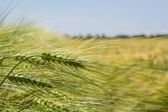 Ährchen der grünen Gerste, verstopft mit schweren Körnern, vor dem hintergrund des Feldes und des Himmels stockfoto