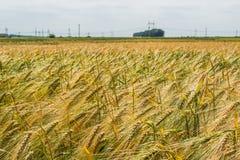 Ährchen der grünen Gerste, verstopft mit schweren Körnern, vor dem hintergrund des Feldes und des Himmels stockfotos