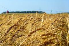 Ährchen der grünen Gerste, verstopft mit schweren Körnern, vor dem hintergrund des Feldes und des Himmels stockfotografie