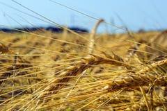 Ährchen der grünen Gerste, verstopft mit schweren Körnern, vor dem hintergrund des Feldes und des Himmels lizenzfreie stockfotografie