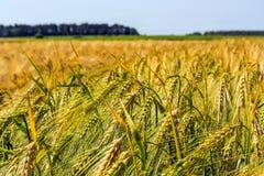 Ährchen der grünen Gerste, verstopft mit schweren Körnern, vor dem hintergrund des Feldes und des Himmels lizenzfreies stockbild