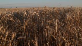 Ährchen der Weizenbewegungsnahaufnahme stock video footage