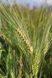 Ährchen des Weizenabschlusses oben auf einem grünen Gebiet lizenzfreie stockfotografie