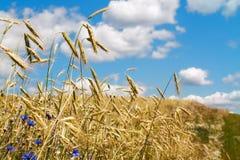 Ährchen des Weizenanbaus auf einem Gebiet Stockfoto