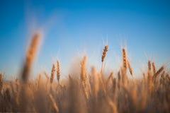Ährchen des Weizens Stockbild