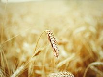Ährchen des Weizens auf dem gelben Gebiet stockbilder