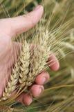 Ährchen des Weizens in der Hand Lizenzfreies Stockbild