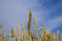 Ährchen des Weizens gegen den blauen Himmel Fälliger Weizen Lizenzfreies Stockfoto