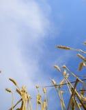 Ährchen des Weizens gegen den blauen Himmel Fälliger Weizen Stockfoto