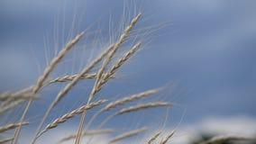 Ährchen des Weizens im Wind auf stürmischem Himmel stock footage