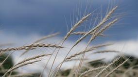 Ährchen des Weizens im Wind auf stürmischem Himmel stock video