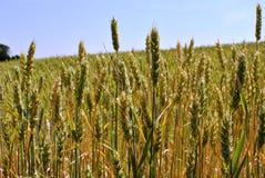 Ährchen des Weizens unter der glänzenden Sonne Stockbild