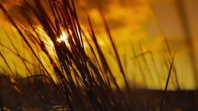 Ährchen am Sonnenunterganghintergrund stock video footage