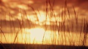 Ährchen am Sonnenunterganghintergrund stock footage