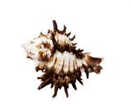 Ährentragendes Meer Shell auf einem weißen Hintergrund Lizenzfreie Stockfotografie