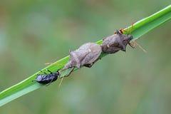 Ährentragendes shieldbug, Picromerus-Bidens Lizenzfreie Stockfotos