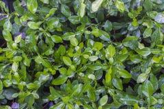 "Ã""Kaffir lime leaves citrus hystrix royalty free stock image"