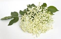 Äldre blomma-fläderbär Royaltyfri Bild
