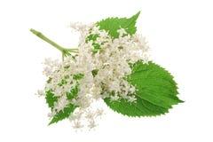 Äldre blommablomningar som isoleras på en vit bakgrund medicinal växt arkivbilder