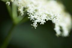 äldre blommatree Royaltyfri Bild